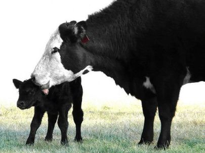 mommy cow